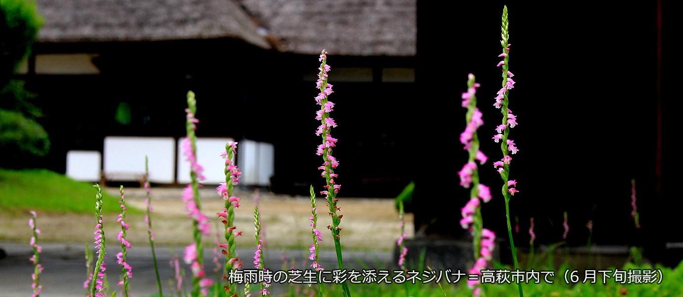梅雨時の芝生に彩を添えるネジバナ=高萩市内で(6月下旬撮影)